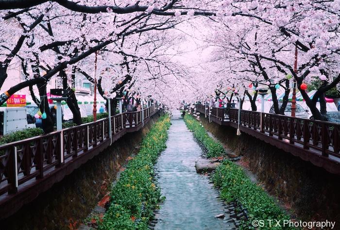 庆尚南道镇海樱花节