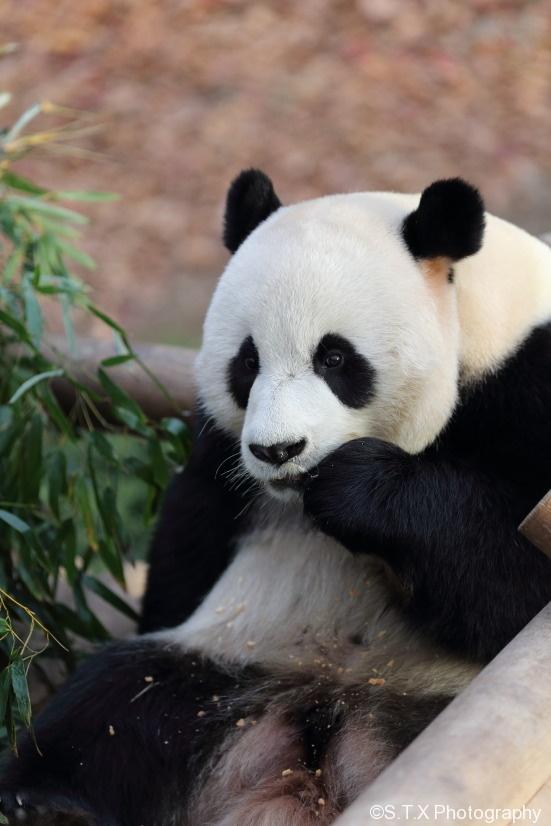 大熊猫乐宝