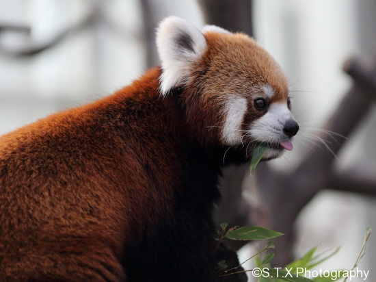 爱宝乐园小熊猫
