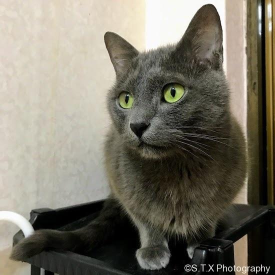 俄罗斯蓝猫、Russianblue